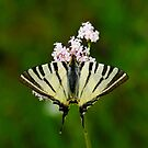 Scarce Swallowtail On Wild Garlic Flowers by taiche