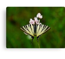 Scarce Swallowtail On Wild Garlic Flowers Canvas Print
