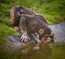 Thirsty chimp ! ........... by jdmphotography