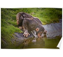 Thirsty chimp ! ........... Poster