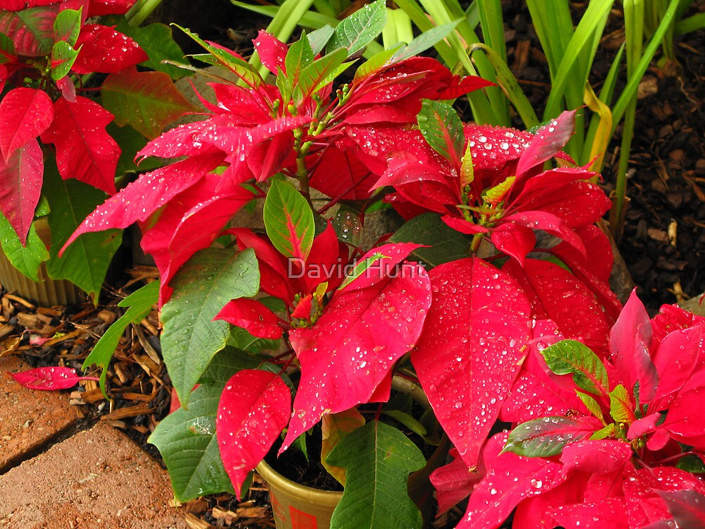 Water Droplets On Pointsettias By David Hunt Redbubble