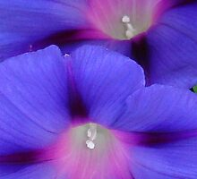 Purple and Pink Colored Morning Glory Flowers Closeup by taiche