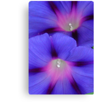 Purple and Pink Colored Morning Glory Flowers Closeup Canvas Print