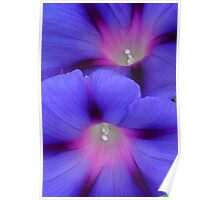 Purple and Pink Colored Morning Glory Flowers Closeup Poster