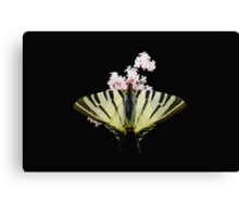 Scarce Swallowtail On Wild Garlic Flowers Vector Isolated Canvas Print