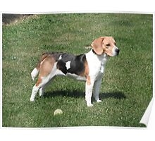 Young Beagle Poster