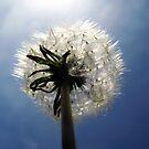 dandelion by Bimal Tailor