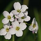 Cuckoo Flower or Lady's Smock by Robert Abraham