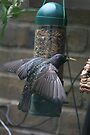 Starling by davesphotographics