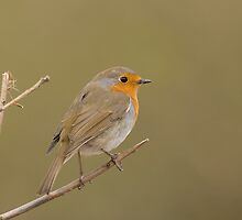 European Robin by George Stylianou