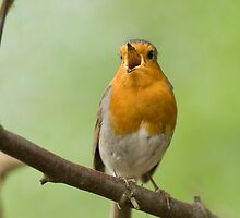 Singing Robin by George Stylianou