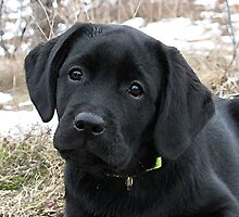 Early Spring Hunt - Black Labrador Puppy by BlackDogArtJudy