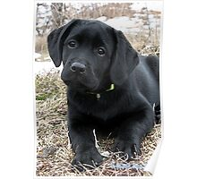 Early Spring Hunt - Black Labrador Puppy Poster