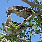 Mom feeding young mocking bird by jozi1