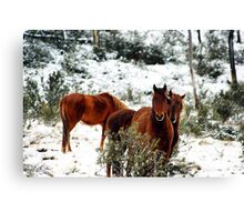 Brumby Stare Canvas Print
