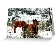 Brumby Stare Greeting Card