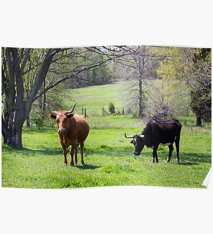 LONG HORN COWS Poster