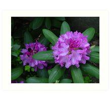 Rhododendron Art Print