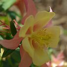 Columbine Bloom by Vikki Marx