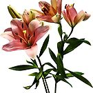 Pink Lily Trio by Susan Savad