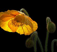 Glowing Poppy by Barb Leopold