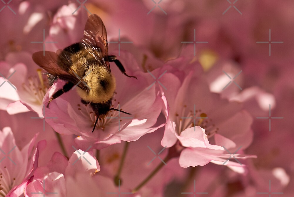 Bumble Bee and blossoms by (Tallow) Dave  Van de Laar