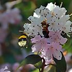 Bee on Rhododendrons  by lynn carter