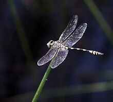 Dragonfly D10 by Sharon Robertson