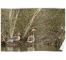 Geese in the marsh Poster