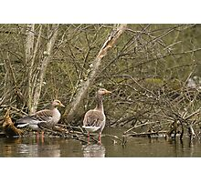 Geese in the marsh Photographic Print