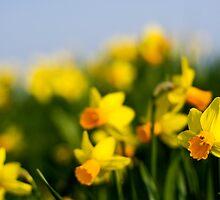 Daffodils by George Stylianou