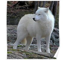 Arctic Wolf on the alert. Poster