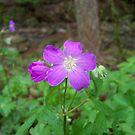 Wild Geranium by Dalton Sayre
