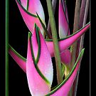 """Heliconia orthotricha 'Eden Pink"""" by Magee"""