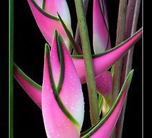 "Heliconia orthotricha 'Eden Pink"" by Magee"