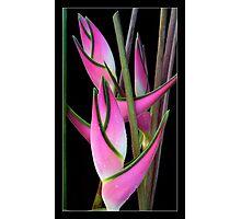 "Heliconia orthotricha 'Eden Pink"" Photographic Print"