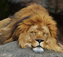 Lion Around by Chantel Riha