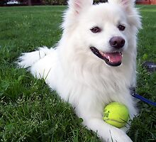 Well-trained German Spitz Klein by welovethedogs