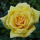 Yellow Rose 2 by LNara
