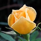 Yellow Rose 3 by LNara