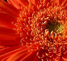 Orange Gerbera Daisy by Corinne Noon
