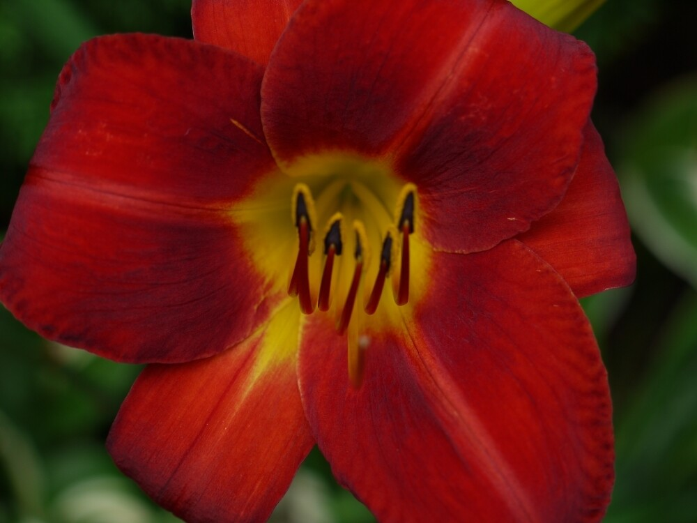 Red Daylily by Kenneth Hoffman