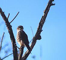 Brooklyn Falcon  by BOLLA67