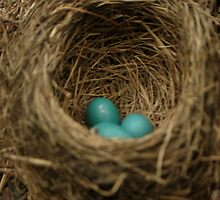 robin's eggs/nest by Jeff Stroud