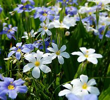 White and Blue Blue-Eyed Grass by Sandra  Aguirre
