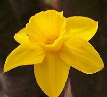 Daffodil by Dandelion Dilluvio