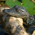 baby alligator on the Ocklawaha River in Central Florida by Margaret  Shark