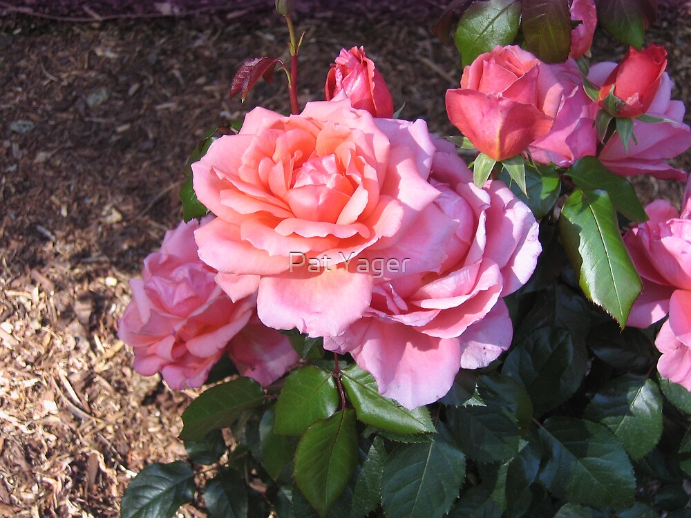 """Sweet Fragrance"" Rose by Pat Yager"