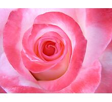 Pink White Rose Photographic Print