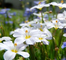 BLUE AND WHITE FLOWERS by Sandra  Aguirre